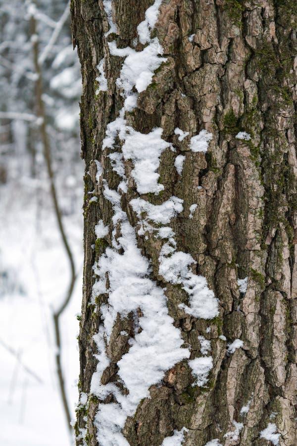 Stammen av ett träd som täckas med snöcloseupen royaltyfri bild