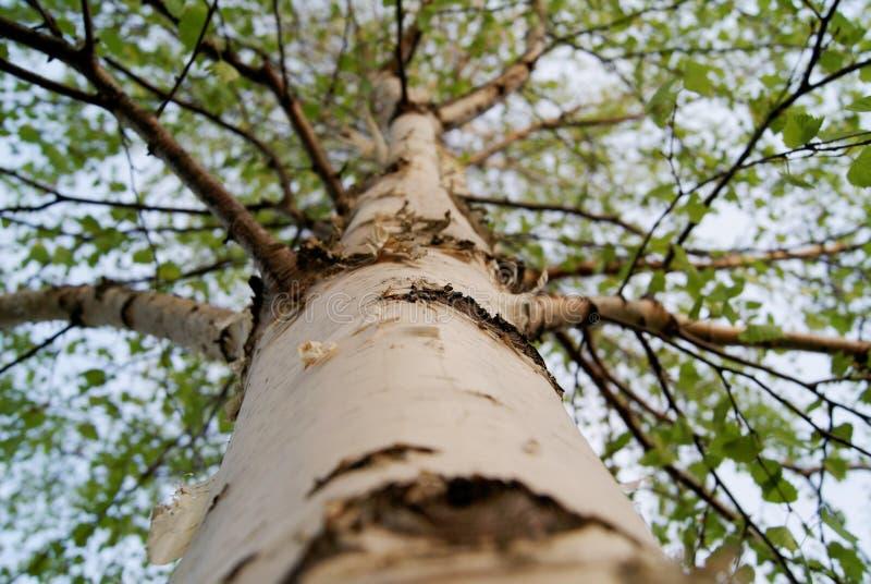 Stammen av ett ungt björkträd på våren arkivbilder