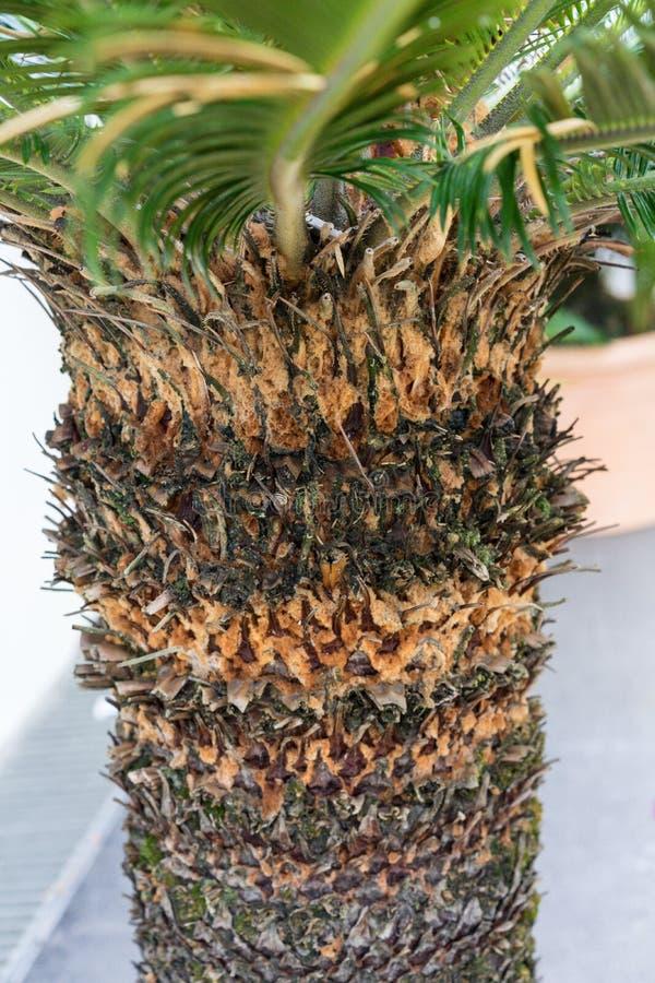 Stammen av sago för cycasrevolutacycadaceae gömma i handflatan från södra Japan fotografering för bildbyråer