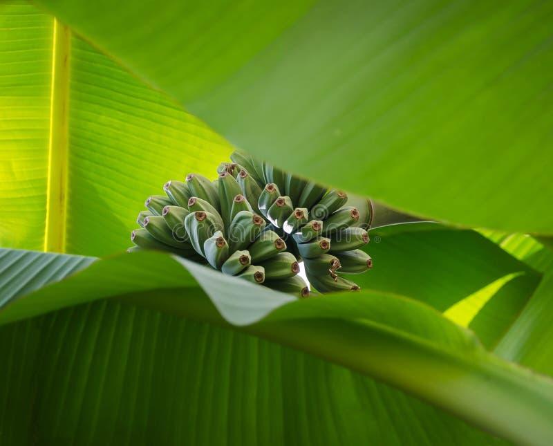Stammen av små gröna bananer som igenom ses stora två, gömma i handflatan leavves arkivbilder