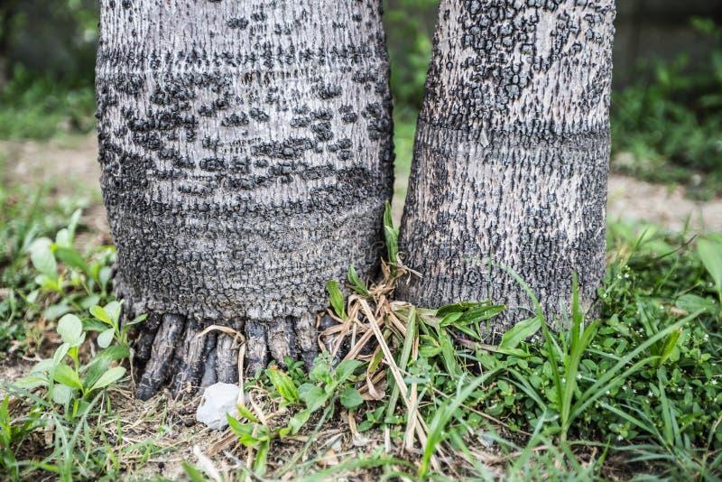 Stammen en wortels van betelpalm royalty-vrije stock foto's