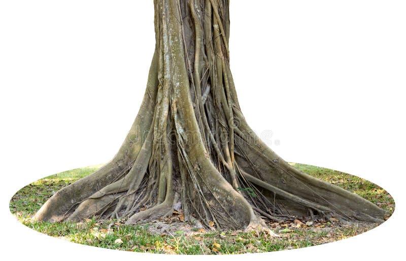 Stammen och det stora trädet rotar fördelning ut härligt i vändkretsarna Begreppet av omsorg och miljöskydd royaltyfri fotografi