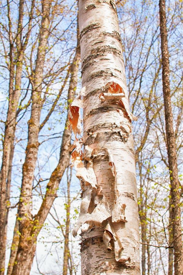 Stammmusterdetail eines bicrh Baums auf einem Wald lizenzfreie stockfotografie