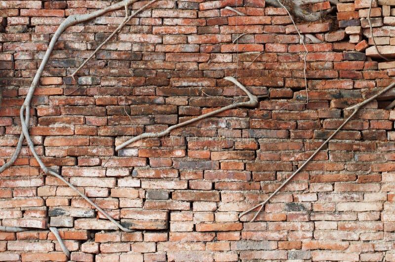 Stammwurzeln des Ficus eine Backsteinmauer bedeckend lizenzfreies stockfoto