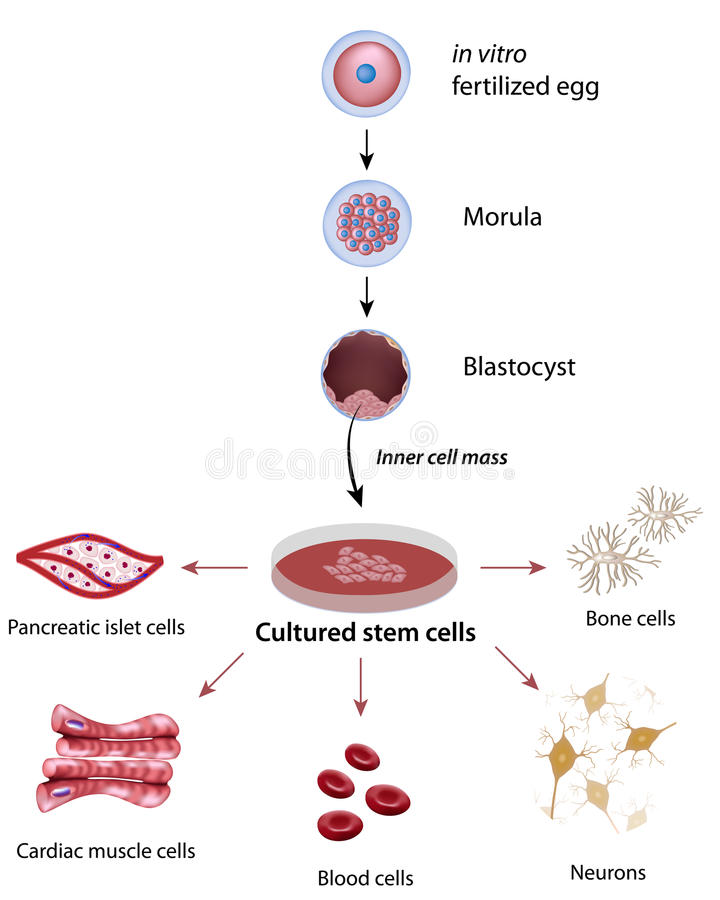 Stammzellen stock abbildung