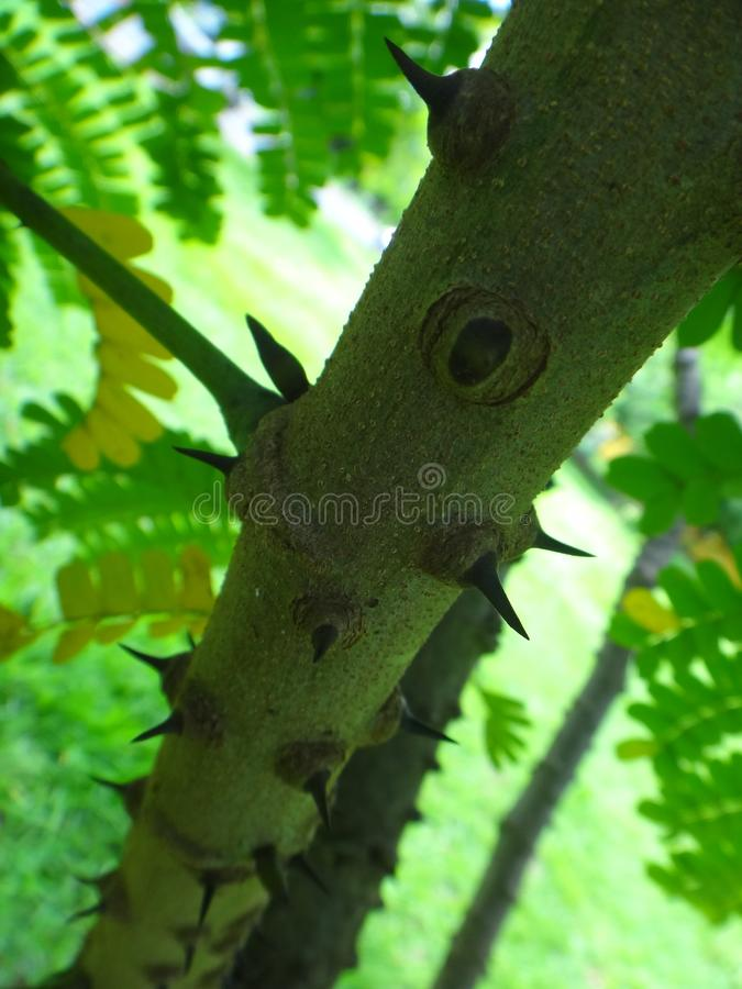 StamorÂstam av sappanwood royaltyfri fotografi
