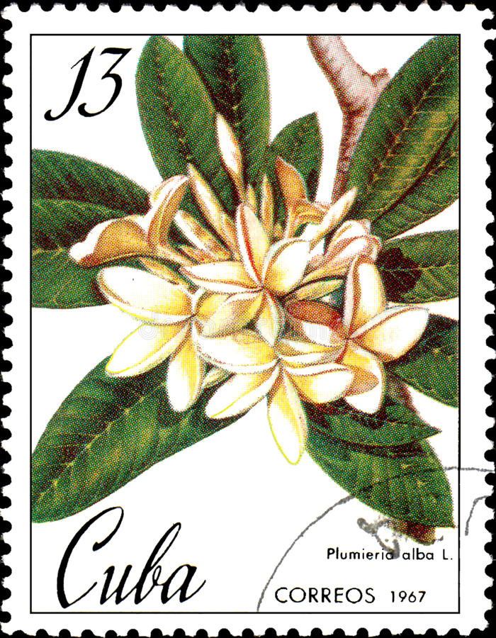 Stamp printed in Cuba shows image of a Plumieria alba, circa 1967. Cuba - circa 1967: Stamp printed in Cuba shows image of a Plumieria alba, circa 1967 royalty free illustration