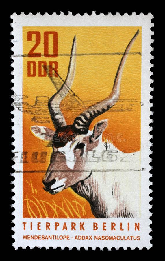Stamp printed in GDR shows White Antelope, Addax, Addax Nasomaculatus royalty free stock photography
