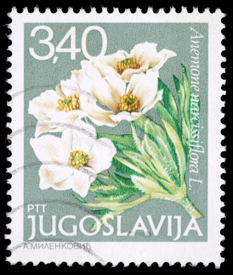 Stamp printed in Yugoslavia shows Anemone narcissiflora L stock images