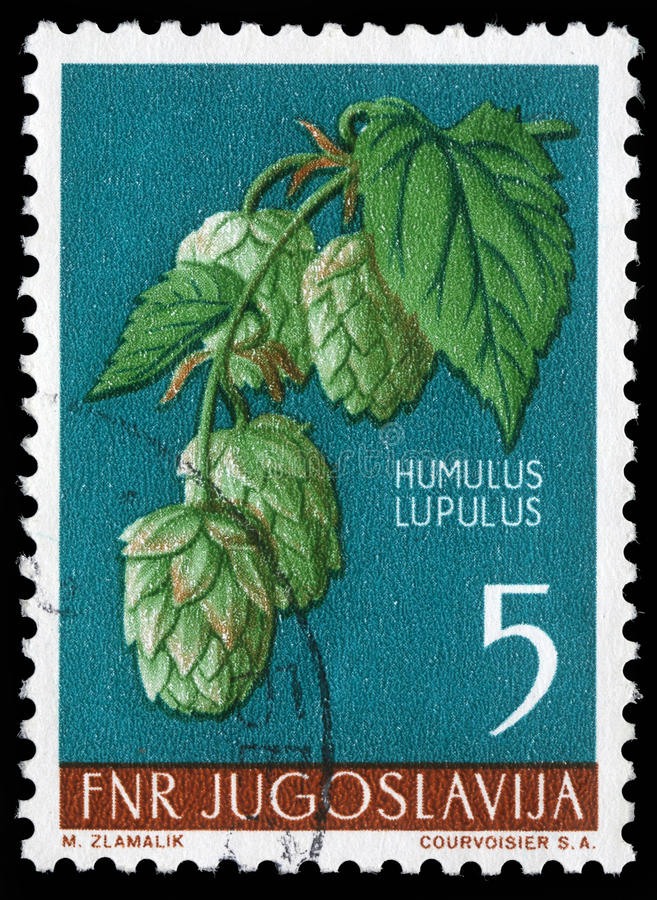 Stamp printed in Yugoslavia shows common hop royalty free stock image