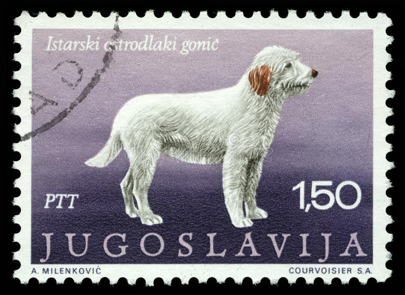 Stamp printed in Yugoslavia shows the Istrian coarse-haired hounds royalty free stock images