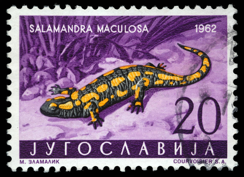 Stamp printed in Yugoslavia shows the Salamander. With the inscription `Salamandra Maculosa` from the series `Fauna`, circa 1962 stock photos