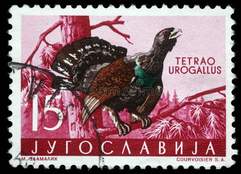 Stamp printed in Yugoslavia shows the Western Capercaillie. With the inscription `Tetrao Urogallus` from the series `Fauna`, circa 1965 stock images