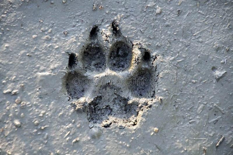Stampa del piede del cane su terra bagnata immagine stock