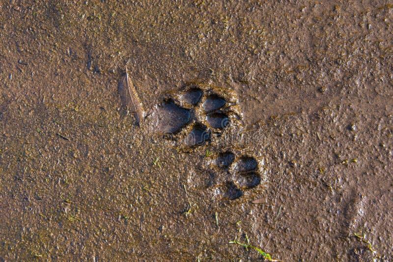 Stampe del cane nel fango fotografia stock