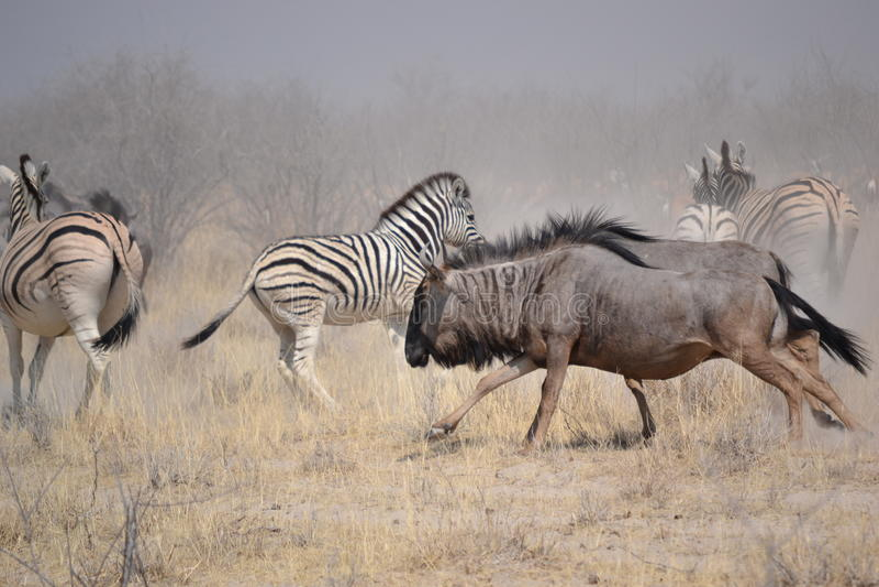 Stampedo nel parco nazionale di Etosha fotografia stock