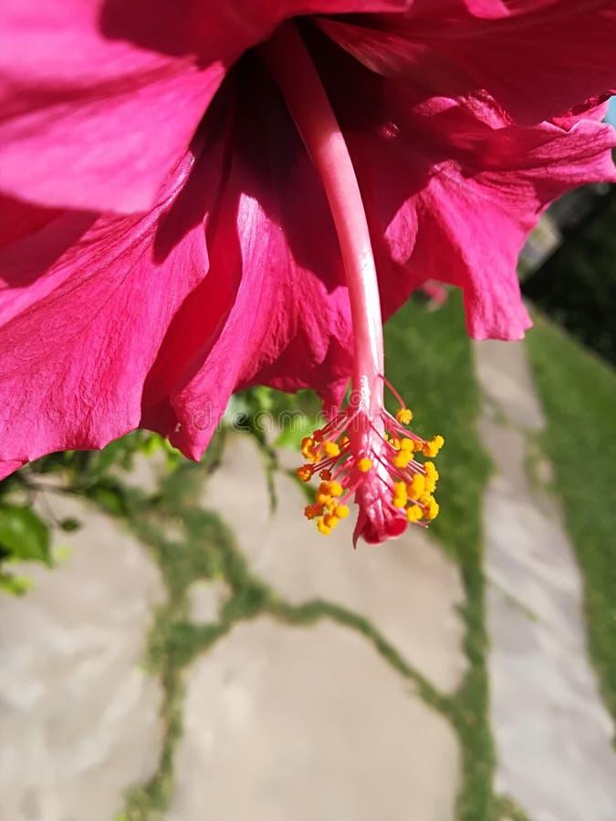 Stamper van een fuchsiakleurig bloem stock fotografie