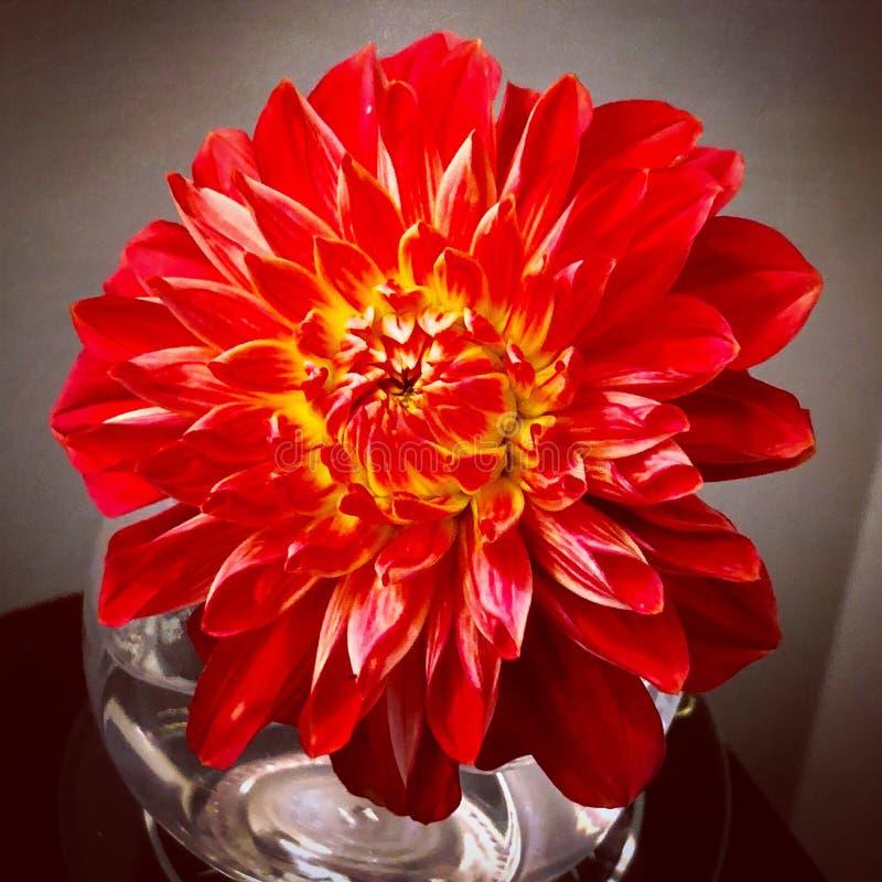 stan dalia kwiaty naturalnej czerwony obrazy royalty free
