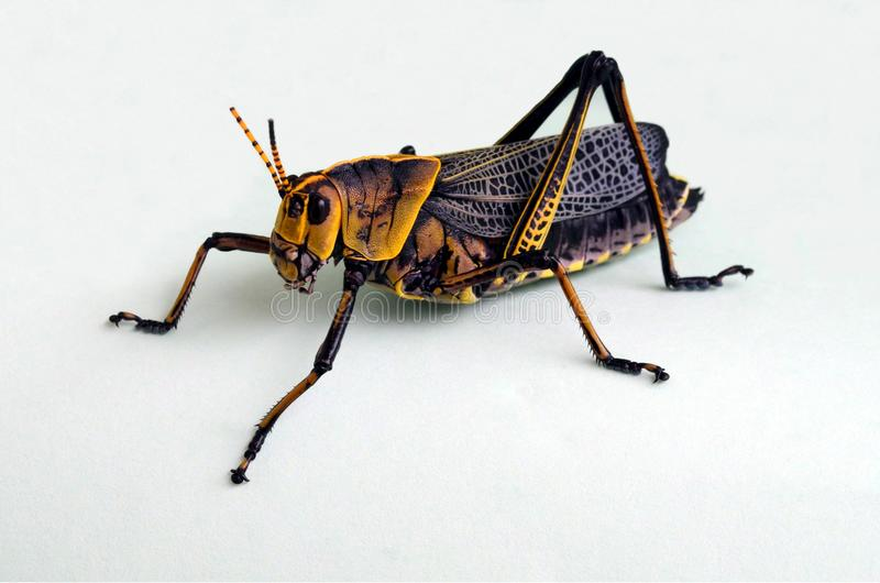 Stand alone black and yellow grasshopper close up royalty free stock photography