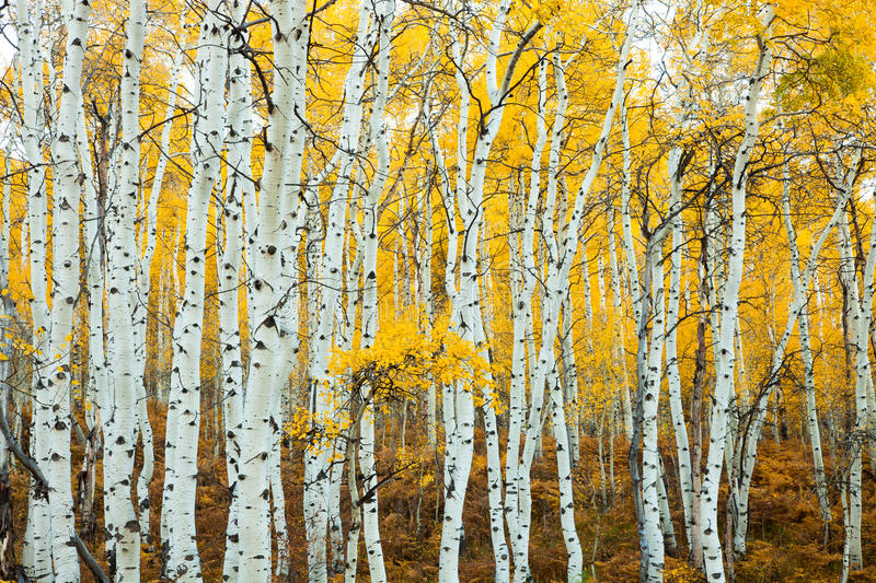Download Stand of Aspens Trunks stock photo. Image of group, fall - 27899140