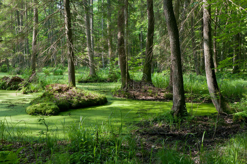 Stand of Bialowieza Forest with standing water. Natural alder-carr stand of Bialowieza Forest with standing water and Common Duckweed on surface among stock photos