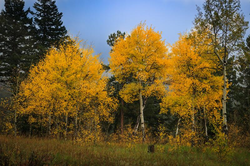 Stand of brilliant yellow aspen trees changing color. S amidst pine trees on a misty fall morning in the Rocky Mountains royalty free stock photos