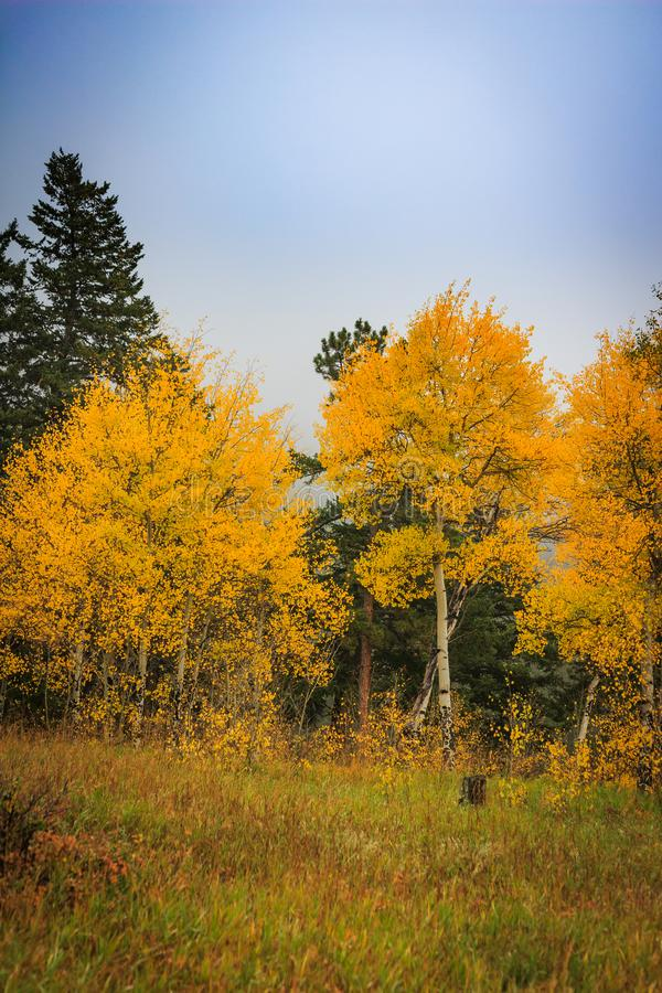 Stand of brilliant yellow and gold aspen trees changing color. S amidst pine trees on a misty fall morning in the Rocky Mountains stock photography
