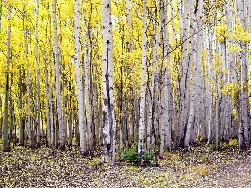 Download Stand of Colorado Aspens stock image. Image of autumn - 26304711