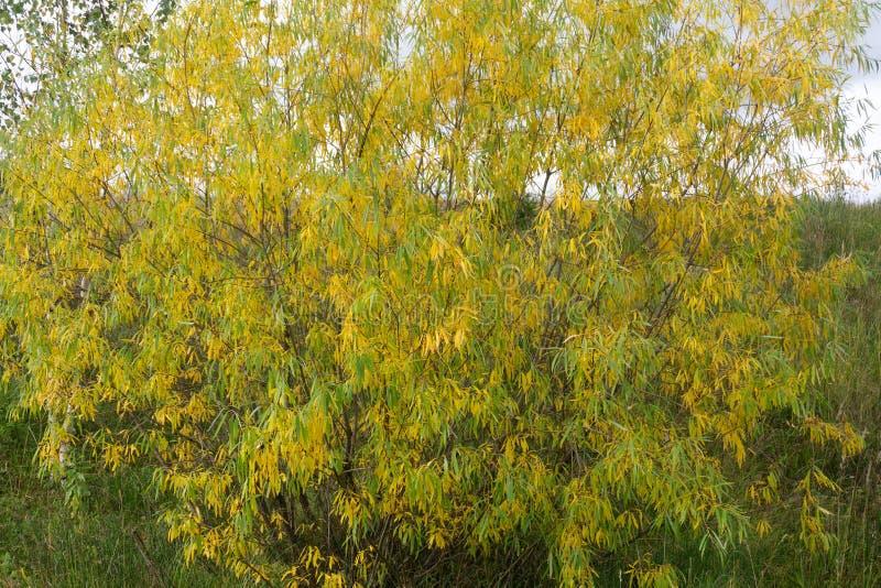 Stand des Änderns gelben Aspen-Baums vor dunkelgrüner Kiefer stockfoto