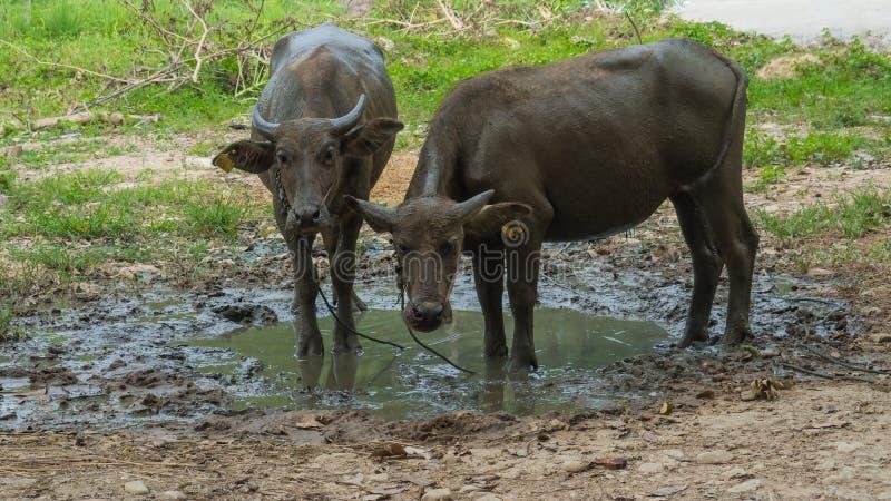 Stand mit zwei Büffeln im Schlamm lizenzfreie stockbilder