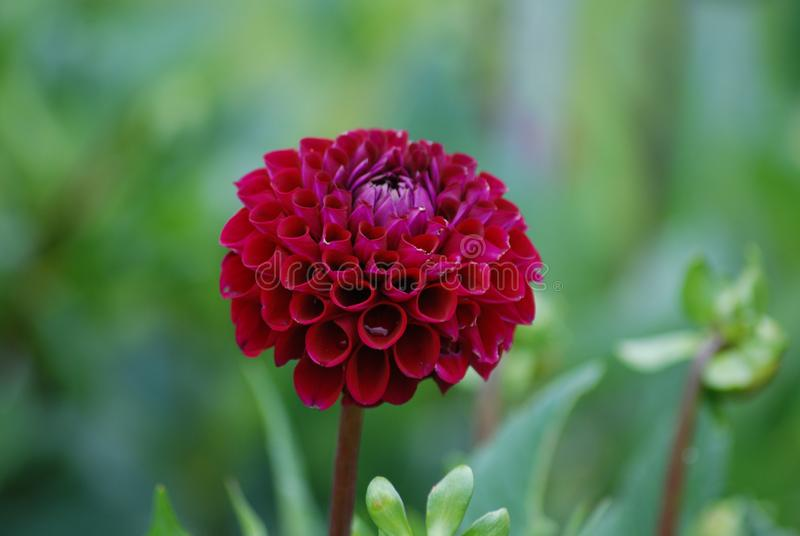 Stand out from the Crowd - Diva - Wine Colored Dahlia Blossom. Dahlia flower blossom represents royalty, dignity and grace; beautiful autumnal fall flowers royalty free stock photo