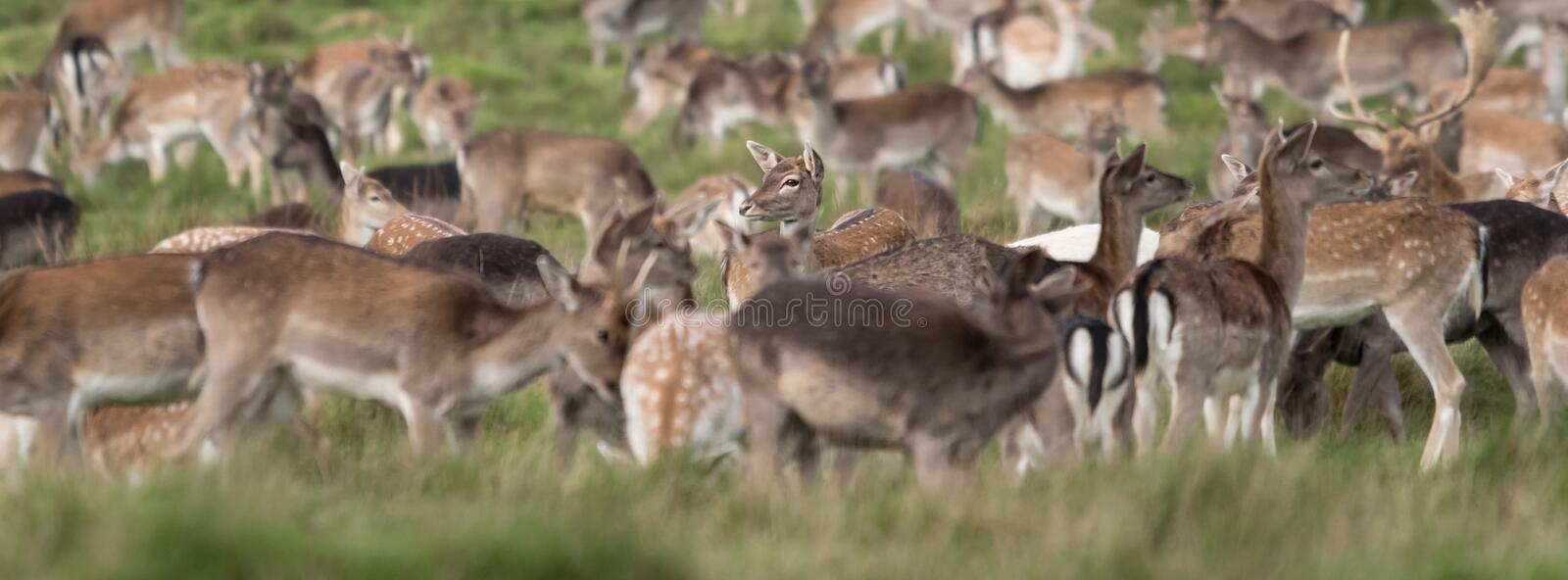 A stand out deer amongst the wild deer herd roaming in the grass royalty free stock image
