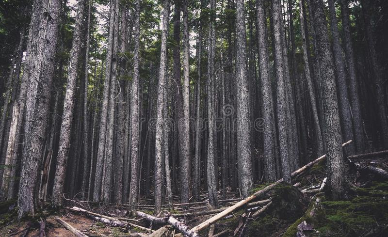 Stand of pine trees in forest royalty free stock photography