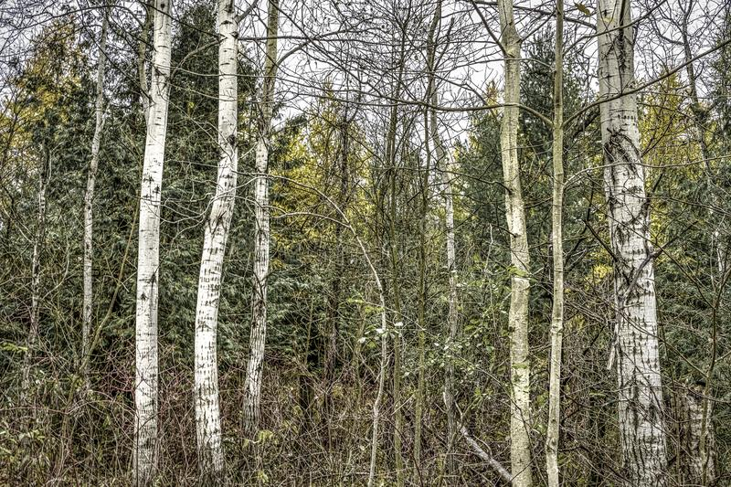 Stand of trees in late Fall. Stand of silver birch trees in a woodland in late Fall stock photos