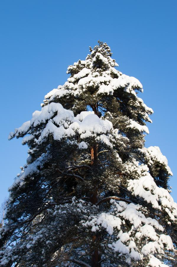 Stand tall like a pine tree. stock photos