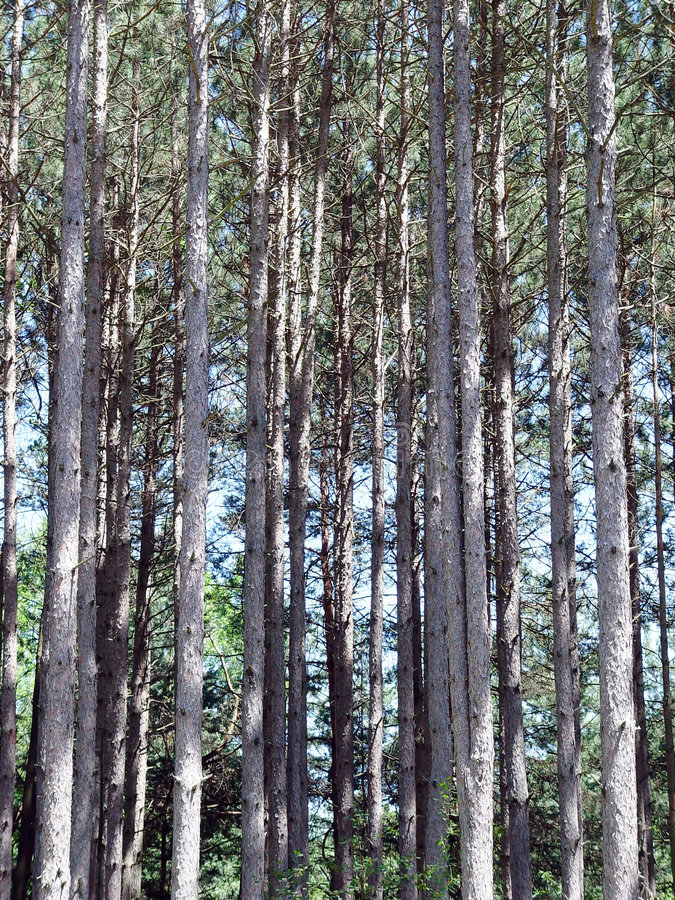 Download Stand of Trees stock image. Image of forestry, tall, bark - 47163