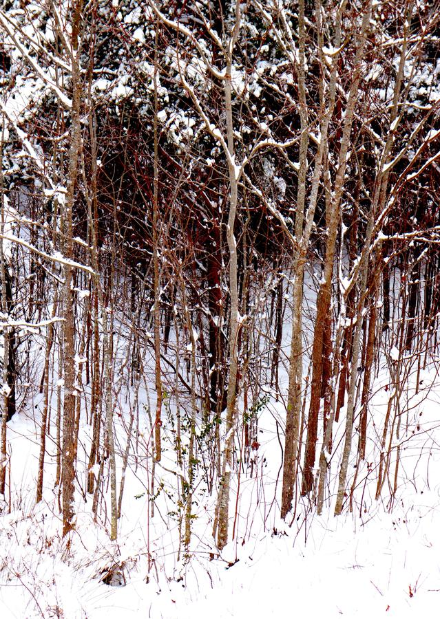 Stand of Skinny Trees in Forest After Snowfall. Stand of trees, an aggregation of similar species, skinny, uniform. An arrangement of aesthetics, a winter stock photography