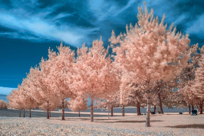 Stand of White Pine in Infrared Color. Stand of white pine trees in infrared color with blue sky stock photography