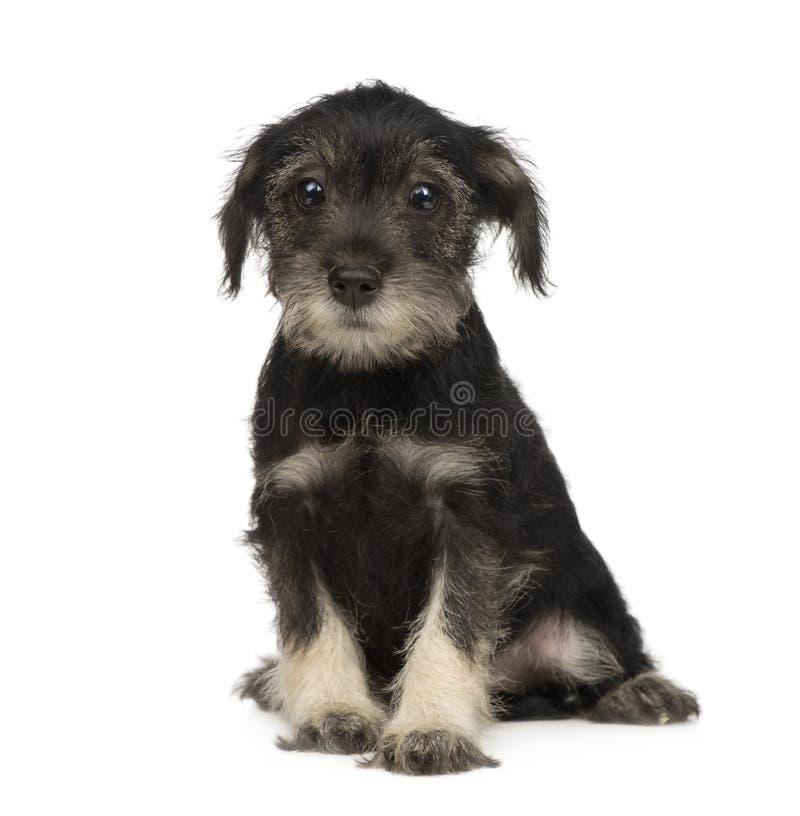 Standaard puppy Schnauzer (10 weken) stock foto's