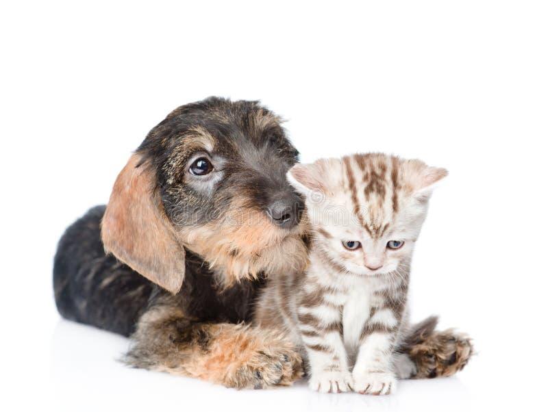 Standaard wire-haired tekkelpuppy die uiterst klein katje snuiven Geïsoleerd op wit stock afbeeldingen