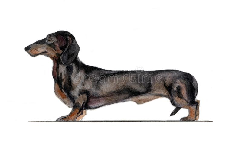 Standard black dachshund painted in watercolor stock photos