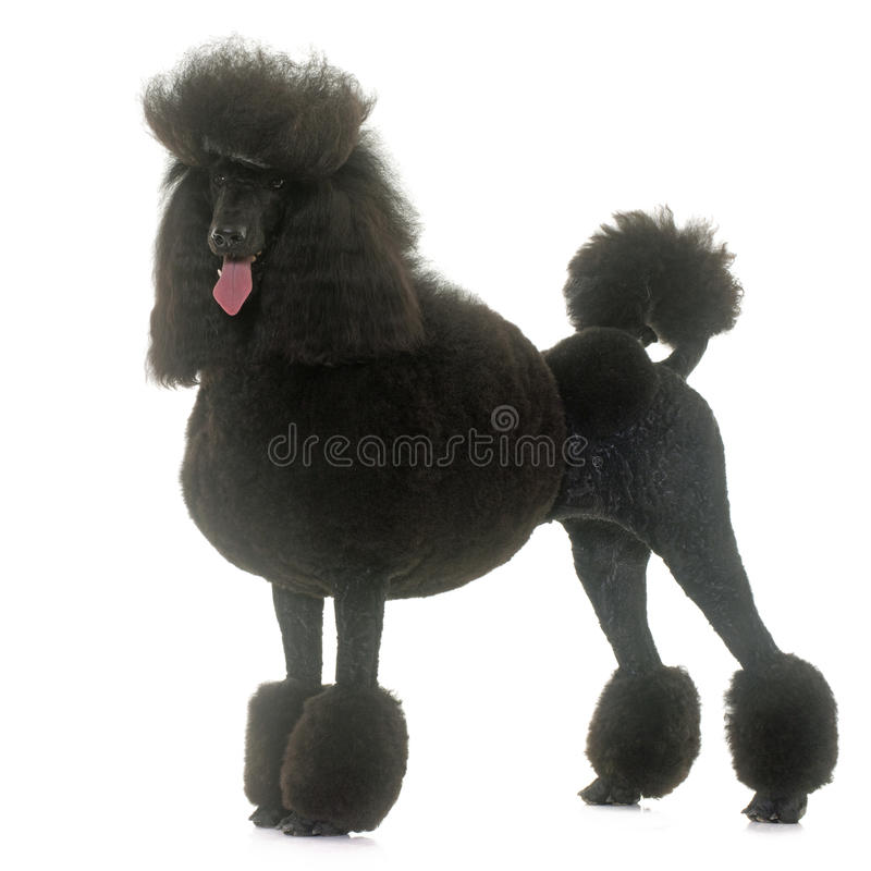 Standard black poodle. Standard poodle in front of white background stock photos