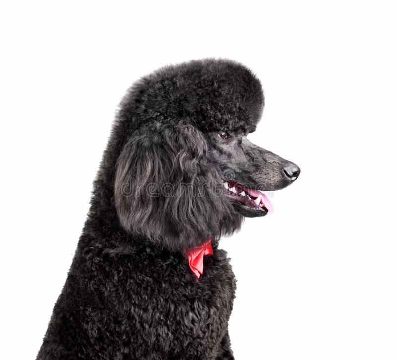 Standard black poodle. Portrait of standard black poodle in red necktie on a white background stock photography