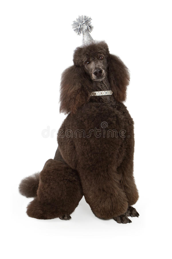 Standard Black Poodle Wearing Party Hat. A large black standard Poodle wearing a silver birthday party hat and sitting against a white backdrop stock photo