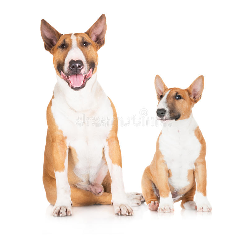 Standard and miniature english bull terrier dogs royalty free stock photo