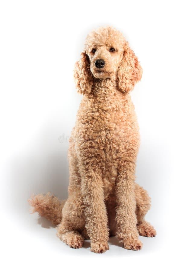 Download Standard Poodle stock photo. Image of adorable, pedigree - 33304832
