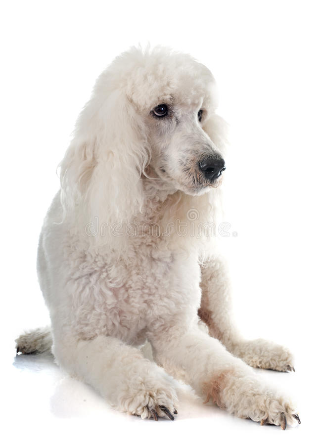 Standard poodle. In front of white background stock photography