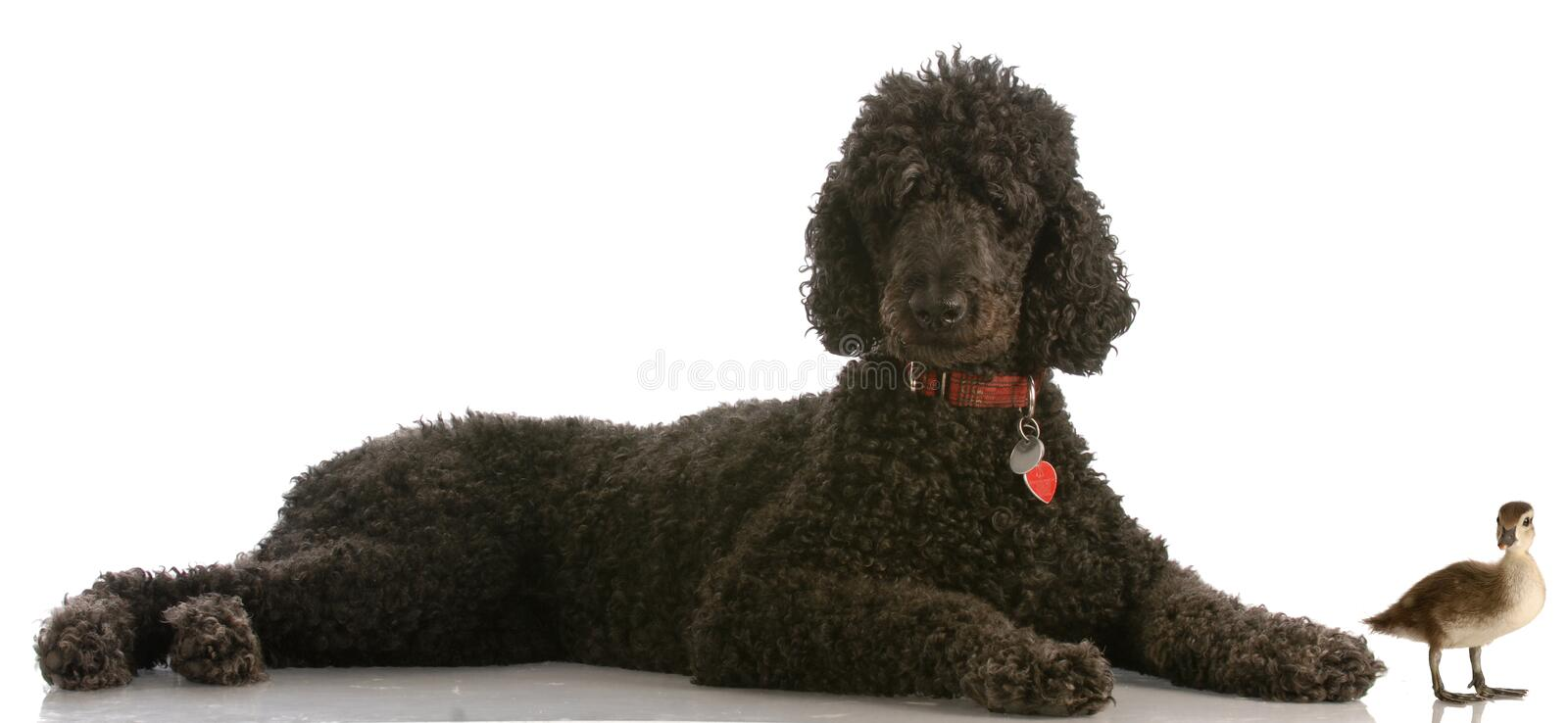 Download Standard Poodle With Mallard Duck Stock Photo - Image: 9949006