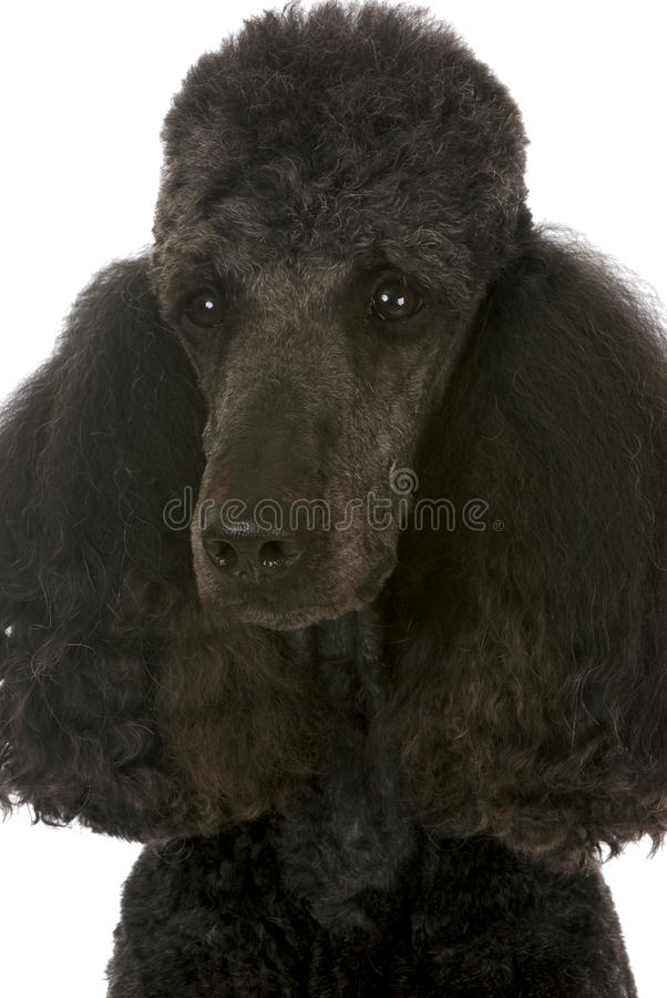 Standard poodle portrait royalty free stock photo