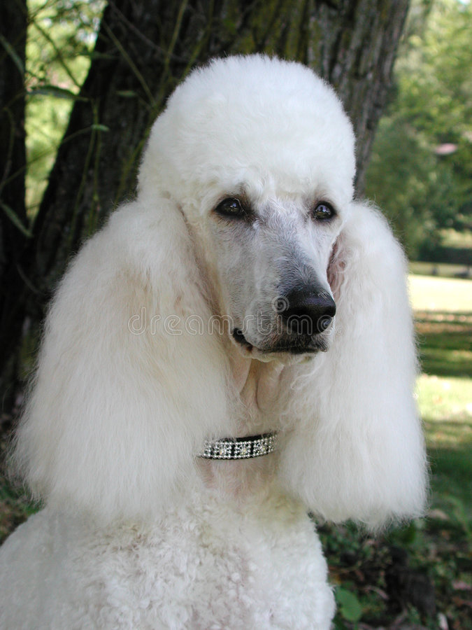 Free Standard Poodle Portrait Royalty Free Stock Photography - 218857